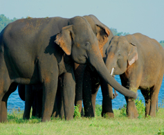 A group of Sri Lankan Elephants